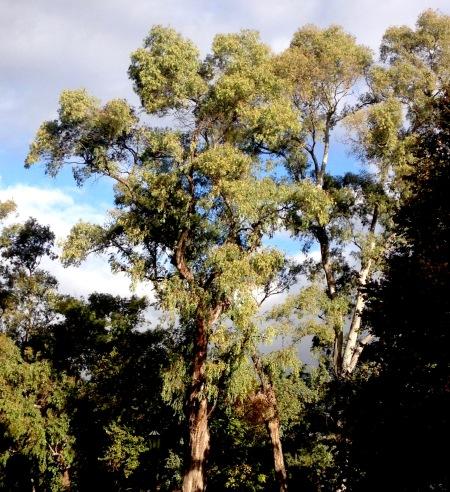 3.eucaliptos