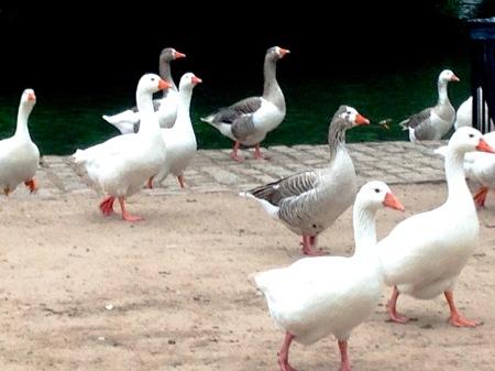 39.más gansos