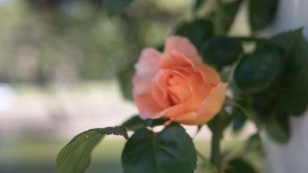 41.rosa.P1070679