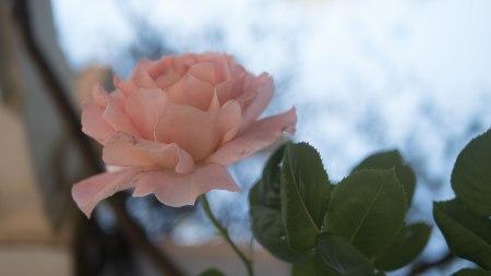 42.rosa.P1070695