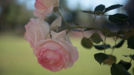 49.rosayverde.P1070739