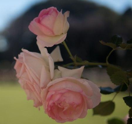 rosacuadrada