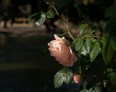 S328.ros rosa 1 nov 1