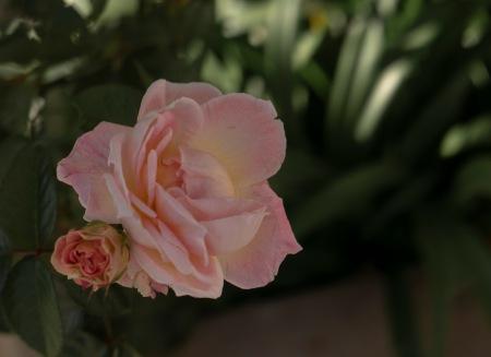 S335.ros rosa 7 nov 6