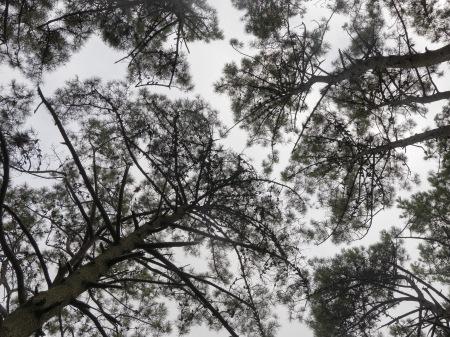 S461.vivero pinos