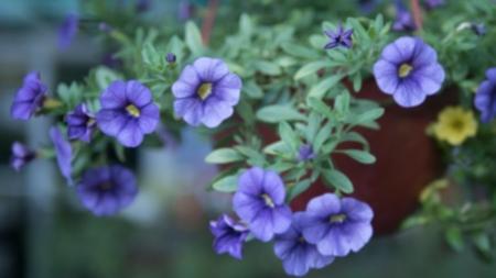 floresvioletas10