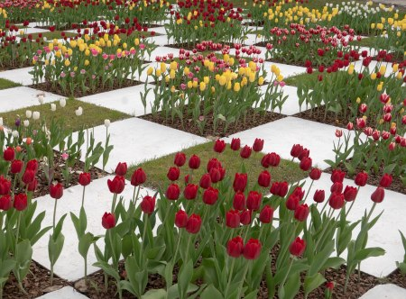 F104.JJ-tulipanes-3
