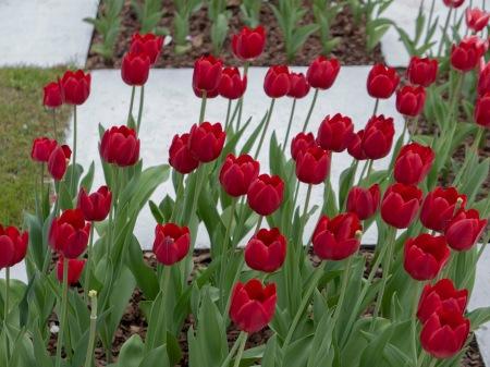 F111.JJ tulipanes rojos