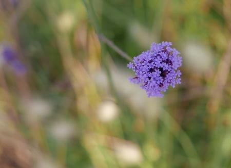 F214.flor lila 1