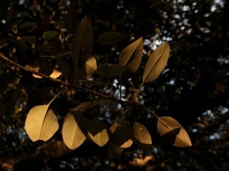 F254.PS hojas doradas por el sol