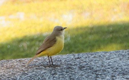 I51-pajarito amarillo