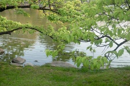 I68-hojas-de-cerezo
